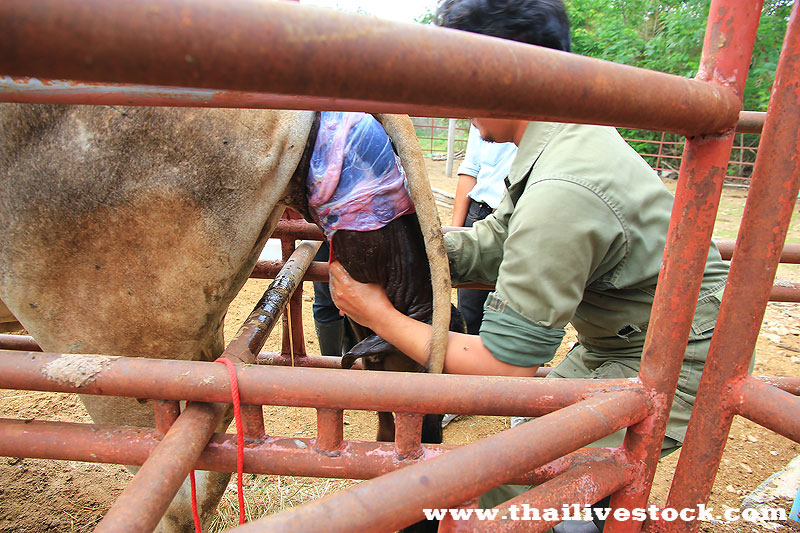 Cow Birth 06.jpg