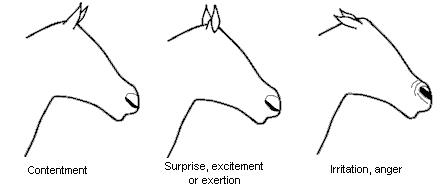 Horse ear nose emotion 1.JPG